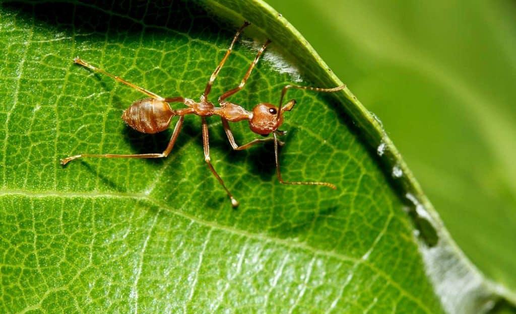 Κοντινή λήψη κόκκινου μυρμηγκιού σε κήπο πάνω σε πράσινο φύλλο