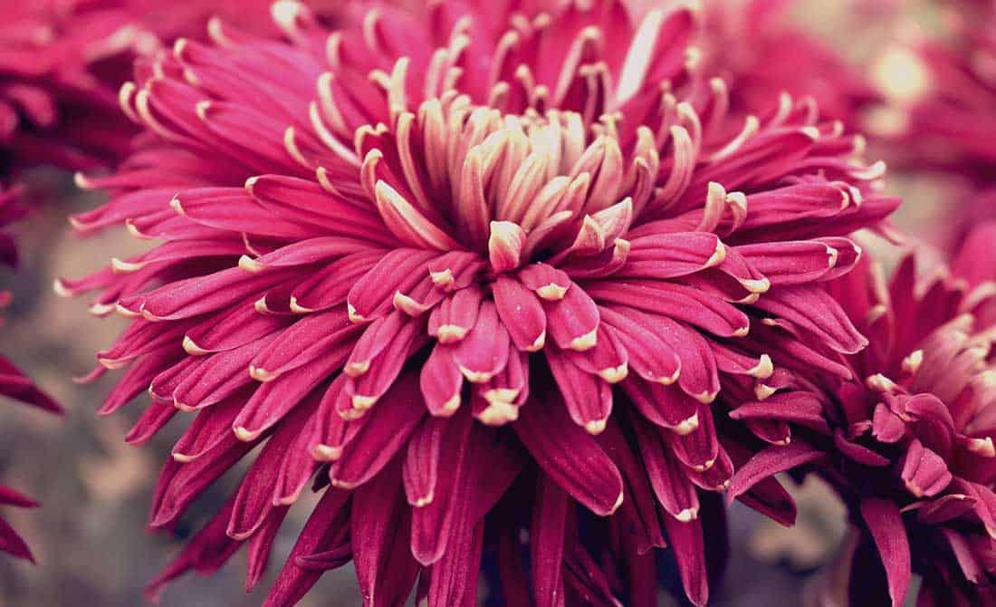 Μωβ λουλούδι ντάλια σε εξωτερικό χώρο