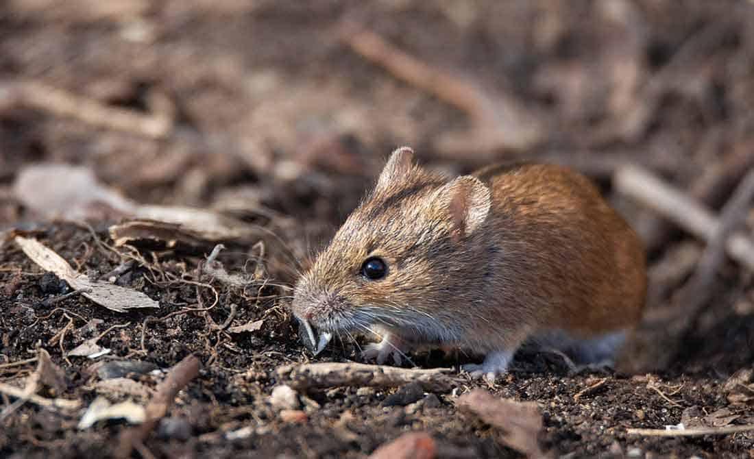 Καστανόχρωμο ποντίκι του αγρού σε χωμάτινο έδαφος. Τρωκτικό που η αντιμετώπισή του είναι απαραίτητη