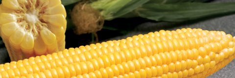 Γλυκό Καλαμπόκι GSS 1477 | 5000 Σπόροι